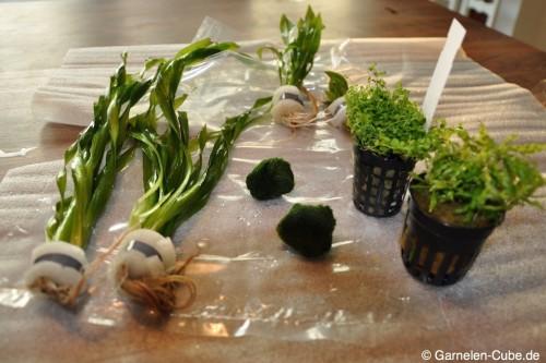 Aquariumpflanzen online kaufen